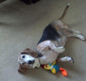 Willie the adoptable basset hound